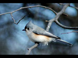 Tufted Titmouse 1 by gerryp, photography->birds gallery