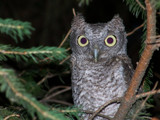 Screech Owl by BossCamper, Photography->Birds gallery