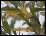 Pixie by garrettparkinson, Photography->Birds gallery