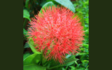 Great Big Ball of...... Pink (African Blood Lily) by aabz, photography->flowers gallery