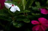 Rain Drops & Petals by tigger3, photography->flowers gallery