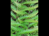 Chain Fern Intertwined by jsnaher, Photography->Nature gallery