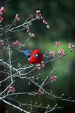 Eastern Rosella by Samatar, photography->birds gallery