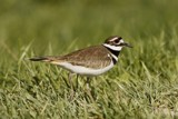 A Killdeer by egggray, Photography->Birds gallery