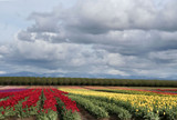 Tulips Fields Forever !! by verenabloo, Photography->Landscape gallery