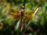 Dragon Fly by Agent_Almeda, photography->insects/spiders gallery