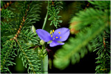 Spiderwort in the Pines by HanneK, Photography->Flowers gallery