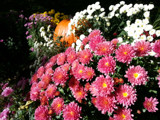 Mums with a Pumpkin Accent by Pistos, photography->flowers gallery