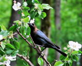 Birds & Blossoms 5 by muggsy, Photography->Birds gallery