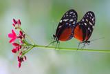 Love at first flight by Paul_Gerritsen, Photography->Butterflies gallery