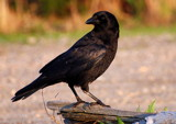 crow on a log by solita17, photography->birds gallery