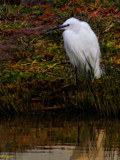 The Little Egret by tigger3, photography->birds gallery