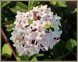 Fragrant Viburnum by trixxie17, photography->flowers gallery