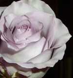 Lavender Rose by ccmerino, Photography->Flowers gallery
