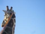 Giraffe ride by goo100, photography->animals gallery