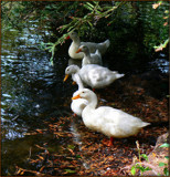 Five Little Ducks by LynEve, Photography->Birds gallery