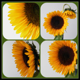 The Sunflower Quartet by mesmerized, photography->flowers gallery