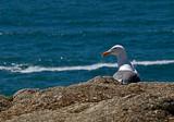 Gull Portrait by djholmes, Photography->Birds gallery