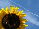 Sunflower by molefi, photography->flowers gallery