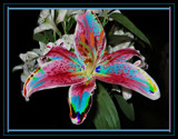 Star Lily Colour Splashes by verenabloo, Photography->Manipulation gallery