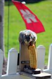 Nebraska Cornhusker by Pistos, photography->animals gallery
