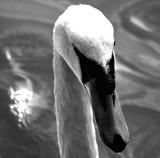 Swan In B & W by braces, contests->b/w challenge gallery