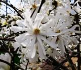 Star Magnolia by trixxie17, photography->flowers gallery