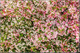 Dazzlin' 'Abstract' by corngrowth, photography->flowers gallery