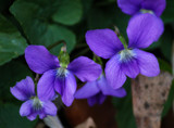 Violets by Pistos, photography->flowers gallery
