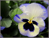 Pansies 2013 - for Dave by trixxie17, photography->flowers gallery