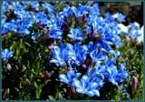 "Lithadora ""Blue Star"" by trixxie17, photography->flowers gallery"