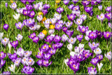 Spring Feeling by corngrowth, photography->flowers gallery