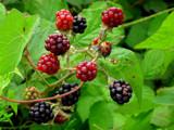 Blackberrys by rvdb, photography->gardens gallery