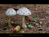 The mushroom twins ; later in the day. by kodo34, Photography->Mushrooms gallery
