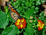 lantana must taste good by jeenie11, Photography->Butterflies gallery