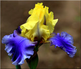 Bloom'n Iris by tigger3, photography->flowers gallery