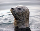 Seal Hunting by jdinvictoria, Photography->Animals gallery