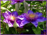 Multi-Hued Clematis by trixxie17, photography->flowers gallery