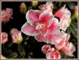 New Azalea by trixxie17, photography->flowers gallery