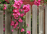 Fence Foofies! by verenabloo, Photography->Flowers gallery