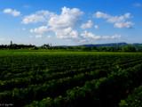Burgundy vinyard under a summer blue sky by LeBlaze, Photography->Nature gallery