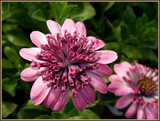 Zinnia Foofies by trixxie17, photography->flowers gallery