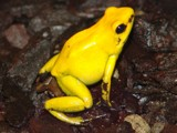 yellow frog by falki, Photography->Reptiles/amphibians gallery