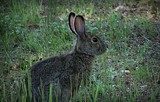 Rabbit by picardroe, photography->animals gallery