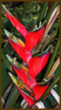 Lobster-Claw Heliconia by trixxie17, photography->flowers gallery