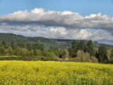Field of Yellow on a Springday  by verenabloo, Photography->Nature gallery