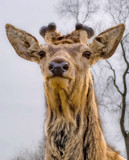 I know what you thinkin, where are the antlers? by slybri, Photography->Animals gallery