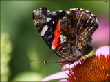 Vanessa atalanta by tigger3, photography->butterflies gallery