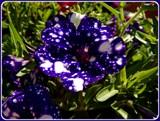 Night Sky Petunia by trixxie17, photography->flowers gallery