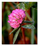 Dew Covered Clover by gerryp, Photography->Flowers gallery